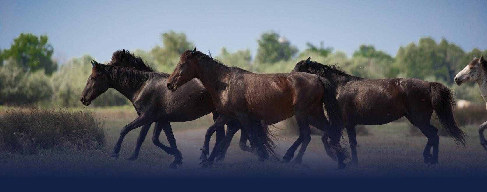 Caii salbatici Delta Dunarii