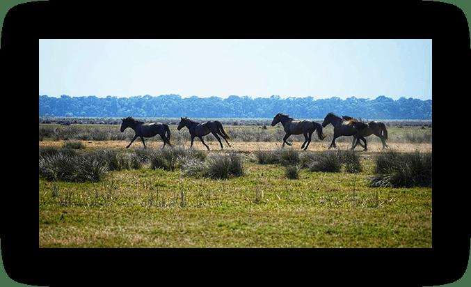 Caii Salbatici din Padurea Letea